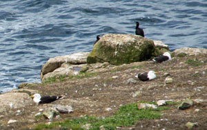 sea birds at Land's End Cornwall